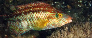 974x400-corkwing-wrasse-and-nest-lr2-Credit-Julie_Hatcher[1]